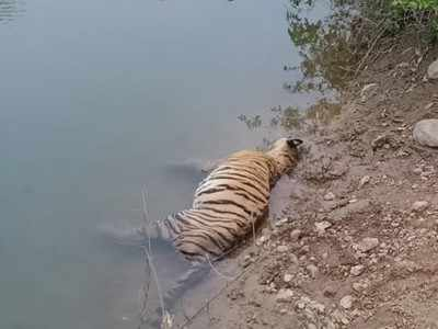 Madhya Pradesh: Tigress found dead in canal, mystery prevails | India News