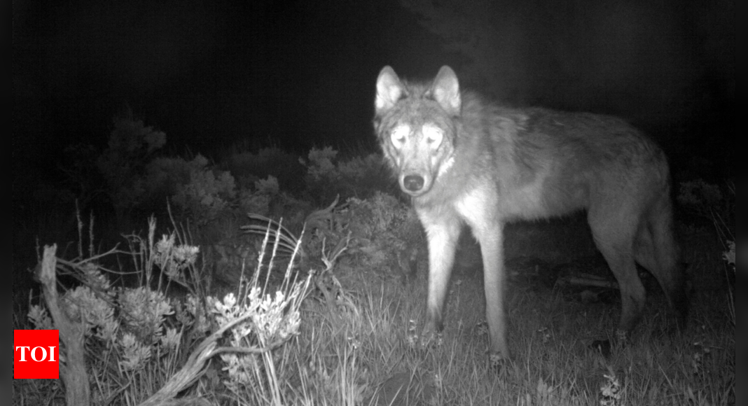 Colorado reports first litter of wolf cubs in 80 years