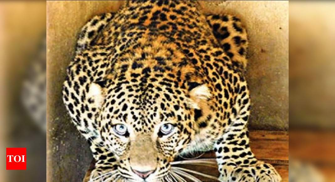 Rescue centres full, U'khand to shift maneater leopards to Gujarat