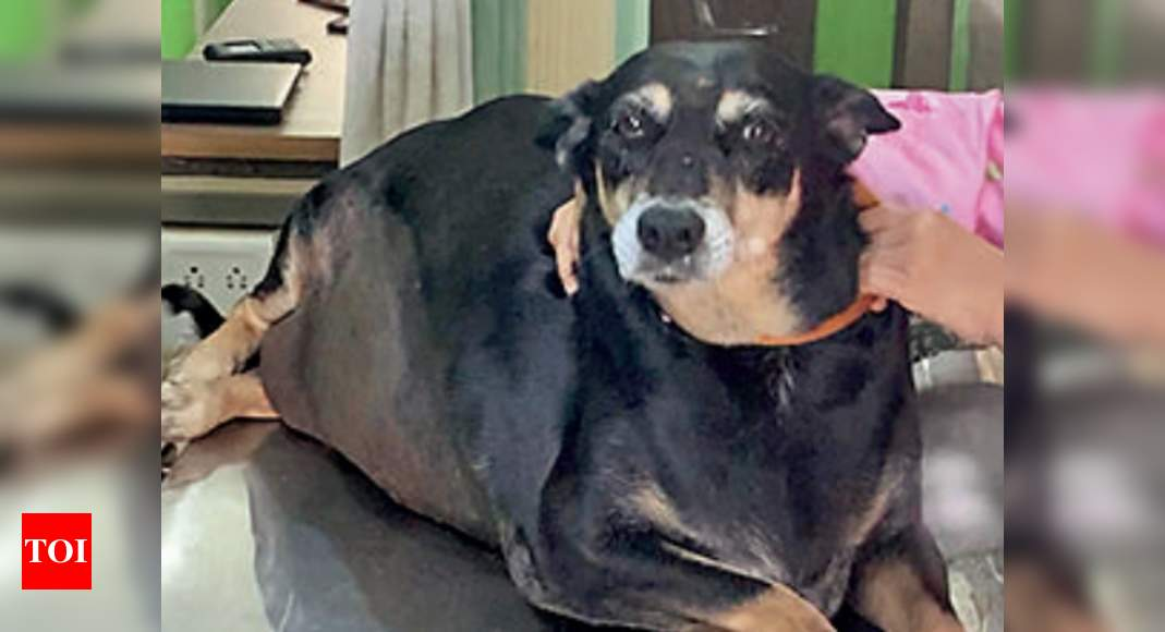 In rare surgery, doctors staple 50kg dog's tummy