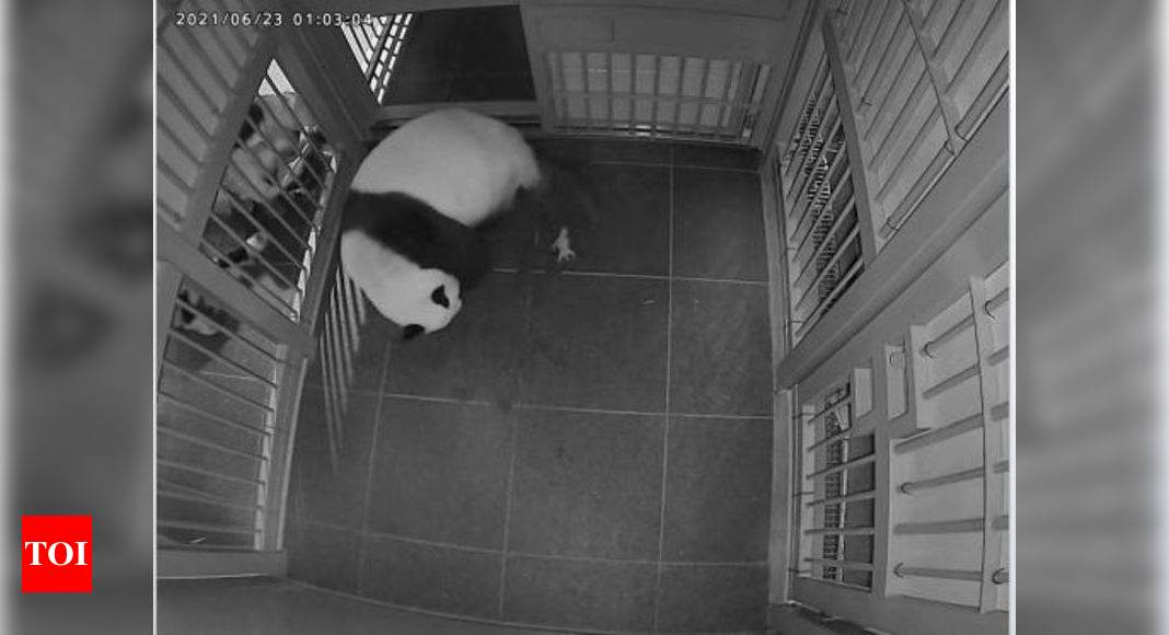 Twin joy as Tokyo panda gives birth to two cubs