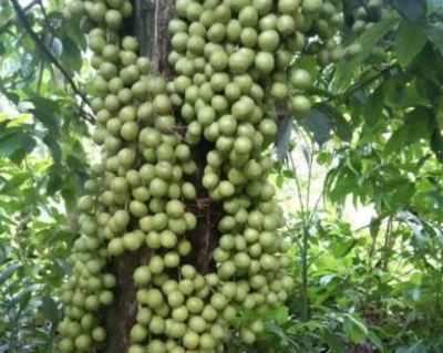 Assam's 'leteku' exported to Dubai