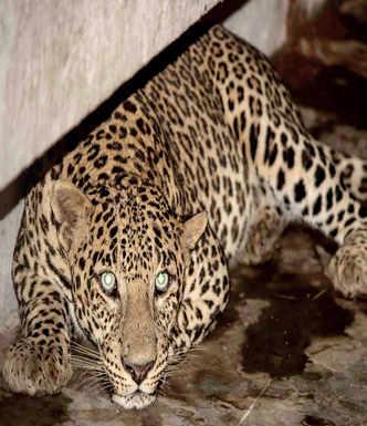Leopard in school canteen
