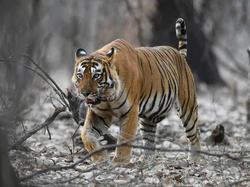 International Tiger Day: Are safaris at wildlife reserves detrimental to tiger conservation?