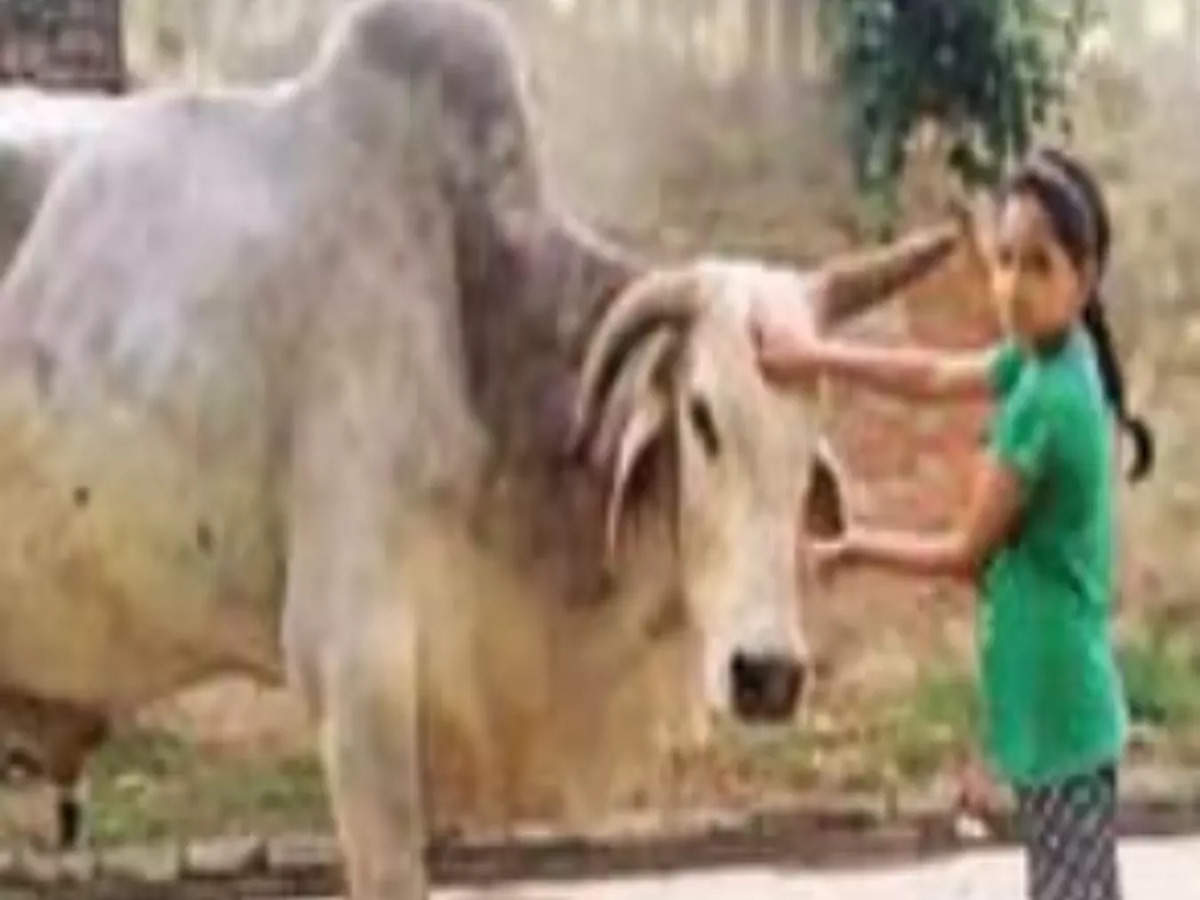 Village mourns Babuji the bull, holds shraddh feast for 3k   India News -  Times of India