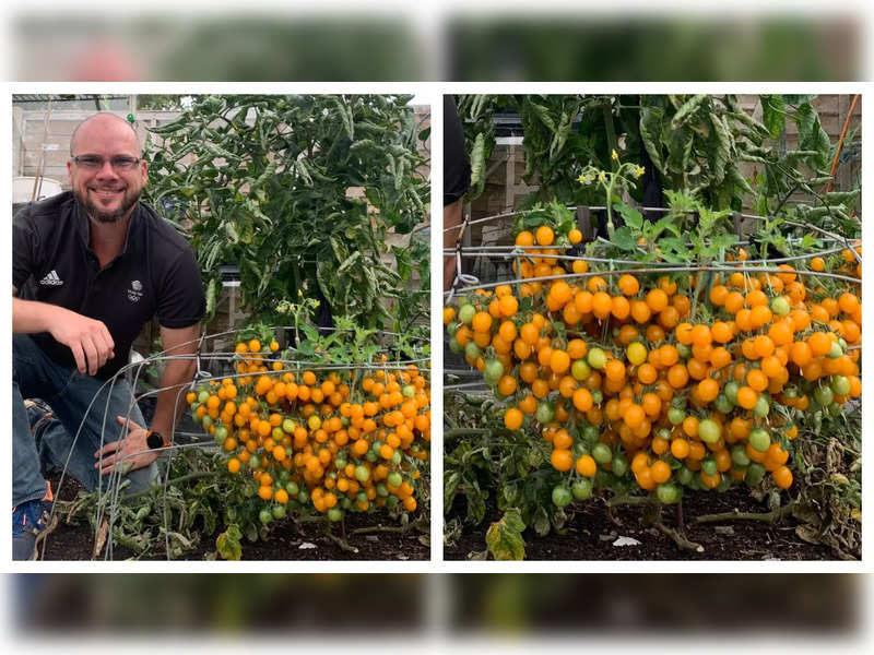 British man sets world record by growing 839 tomatoes from a single stem