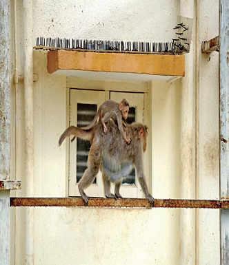 Turf wars: It's man v/s monkey in Basavanagudi