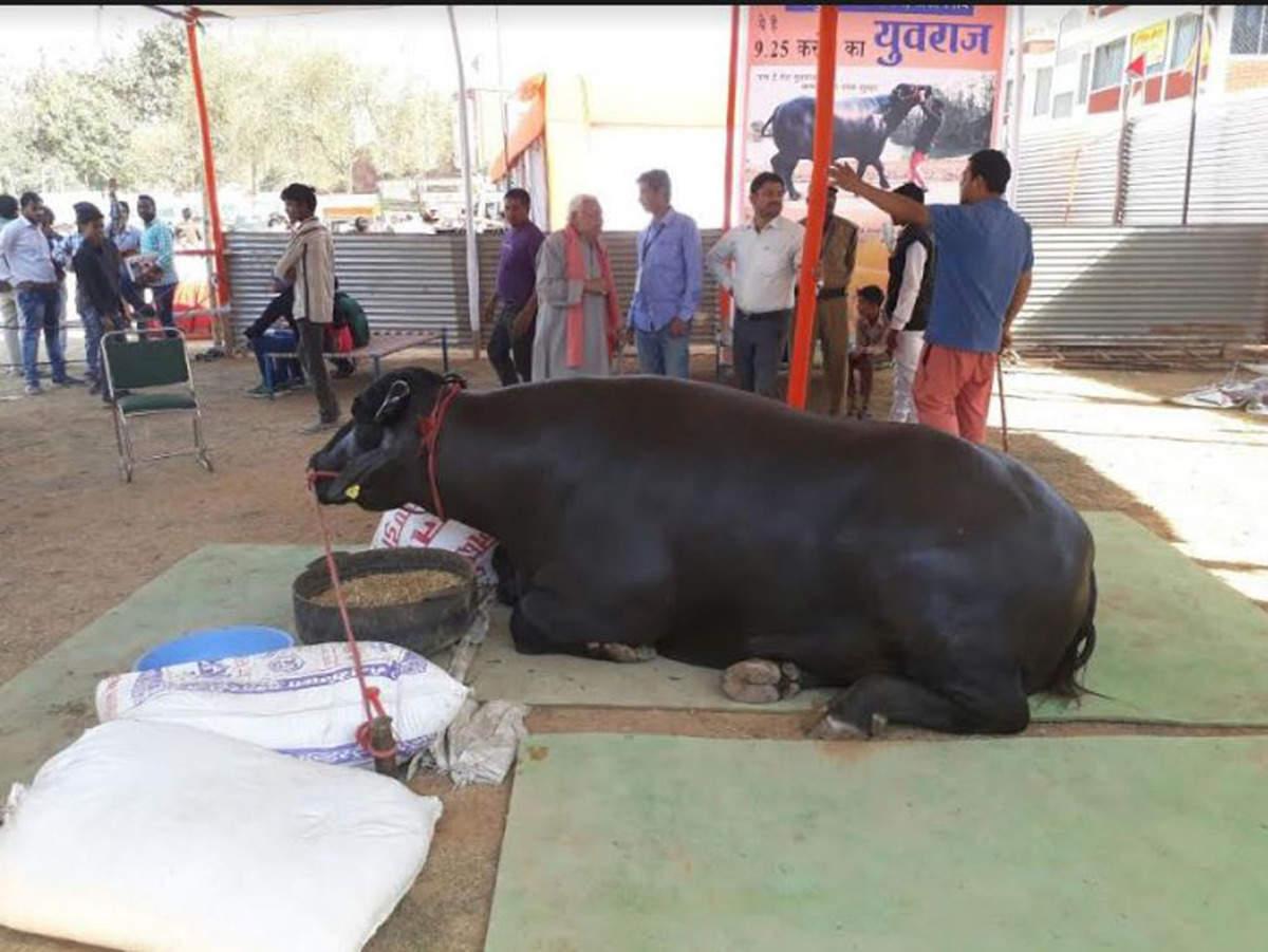buffalo worth 9 25 crore: Yuvraj: This buffalo is worth Rs