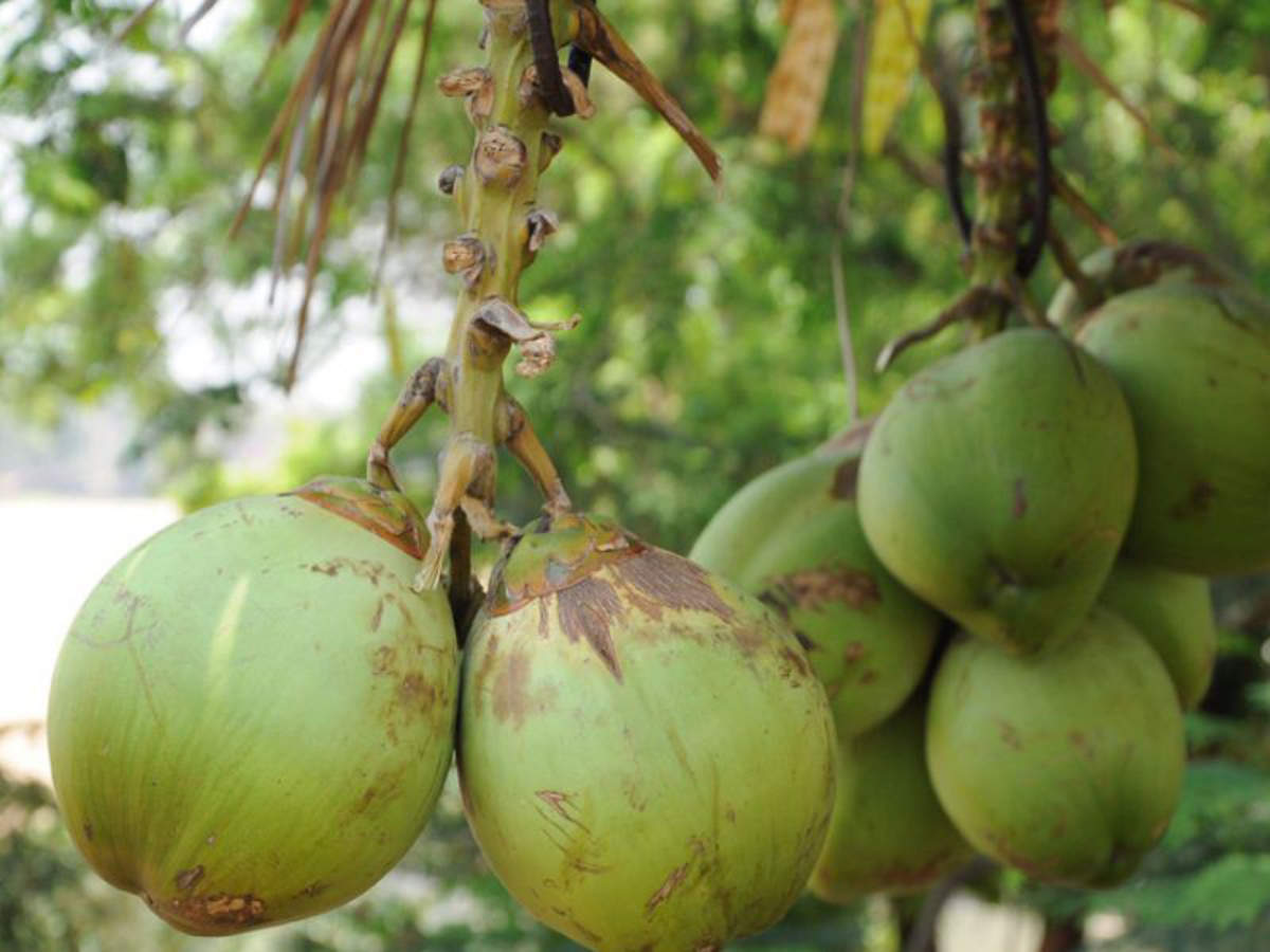 Rs 13 Crore To Farmers For Replacing Low Yielding Coconut Trees