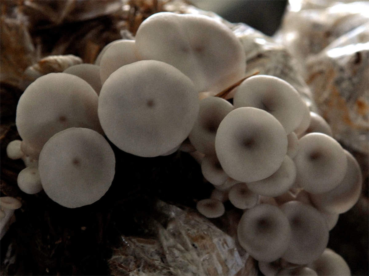 Mushrooms Cultivation Can Yield A Fortune If Done Properly