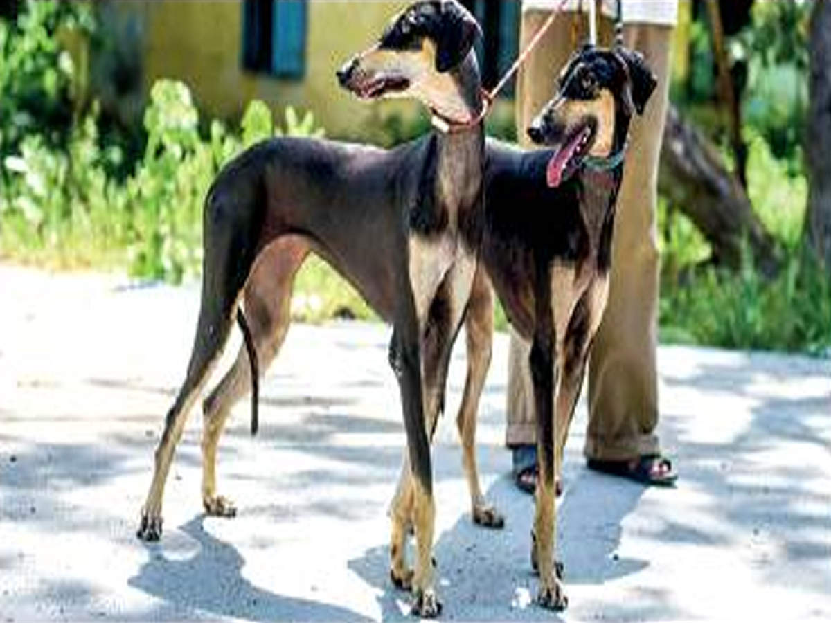 Tamil Nadu: Love desi dogs? Pick up native Kanni pups soon | Chennai