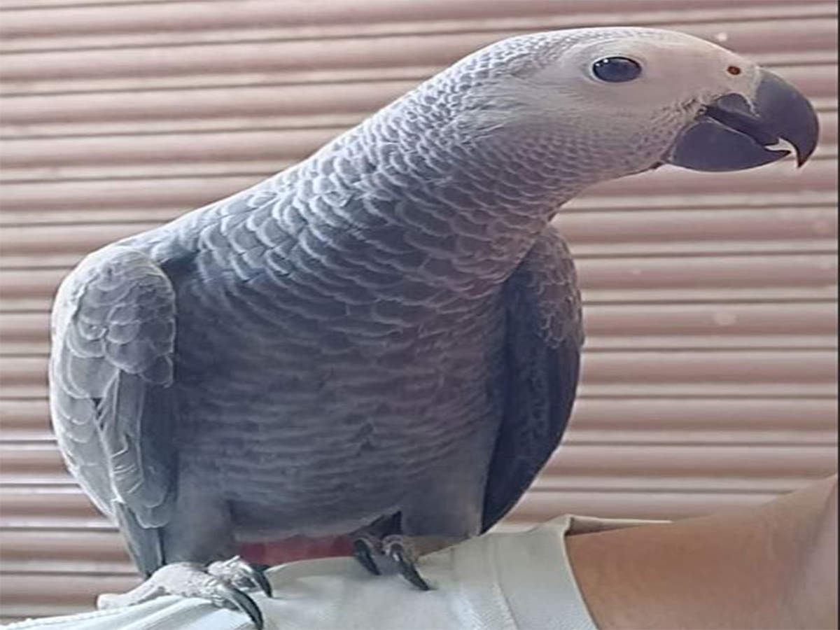Baby African Grey Parrot Price In Mumbai - African Grey Parrot