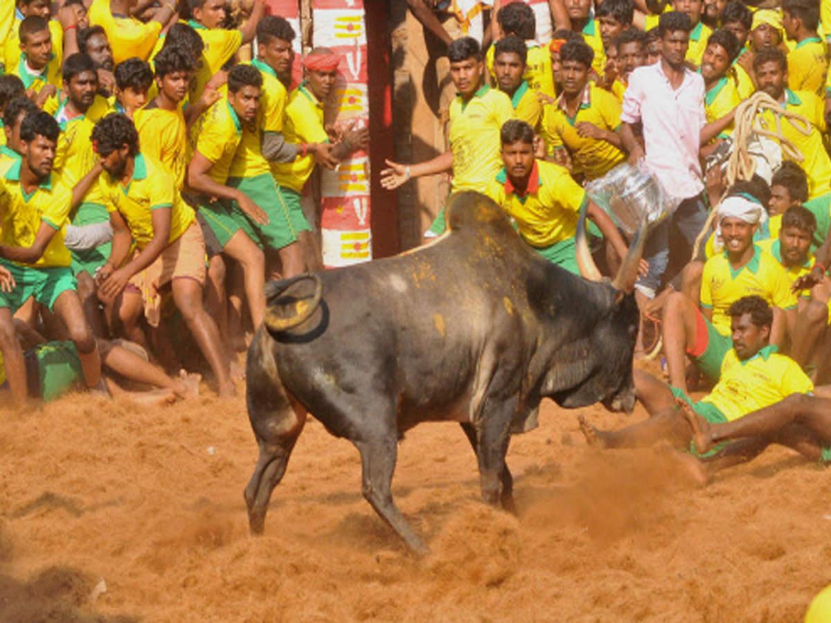 Image result for avaniyapuram jallikattu