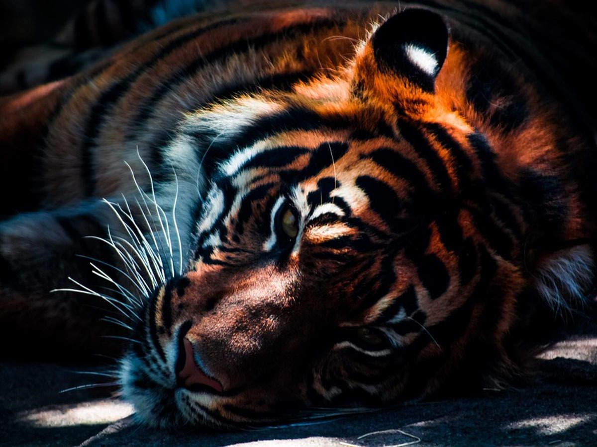 New model improves tiger number estimation | Nagpur News - Times of