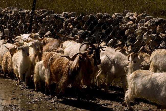 Pashmina sheep