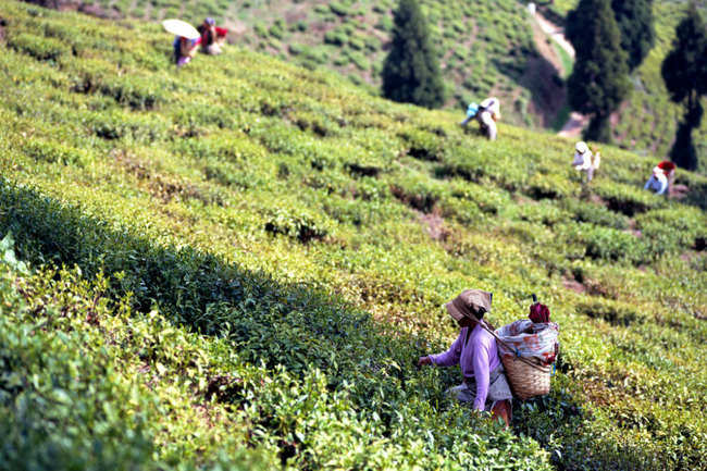 Stroll through tea plantations