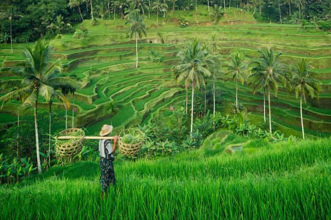Ubud rice fields, Indonesia