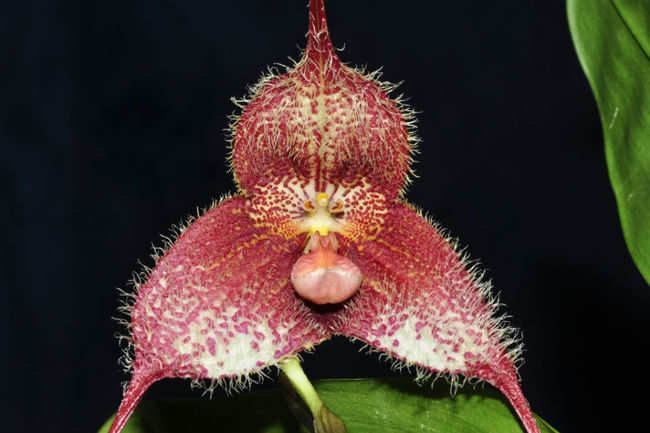 Monkey Face Orchid (Peru and Ecuador)