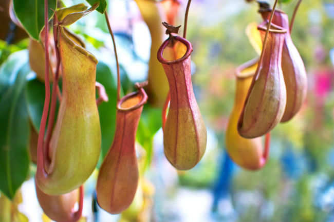 Pitcher Plant (Madagascar, Southeast Asia, Indonesia and Australia)