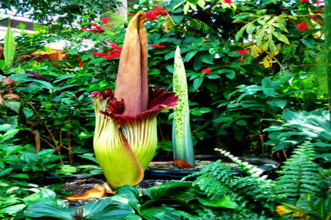 Corpse Flower (Sumatra and Java, Indonesia)