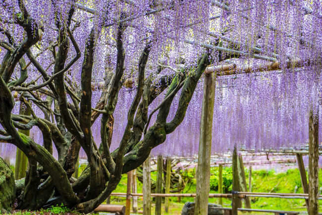Best Time To Visit Wisteria Tunnel In Japan Is A World Of Wonder