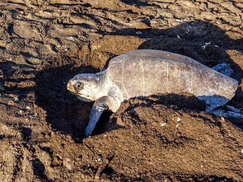 Lakhs of endangered Olive Riley turtles return to Odisha's coast for nesting as humans are locked inside, Orissa